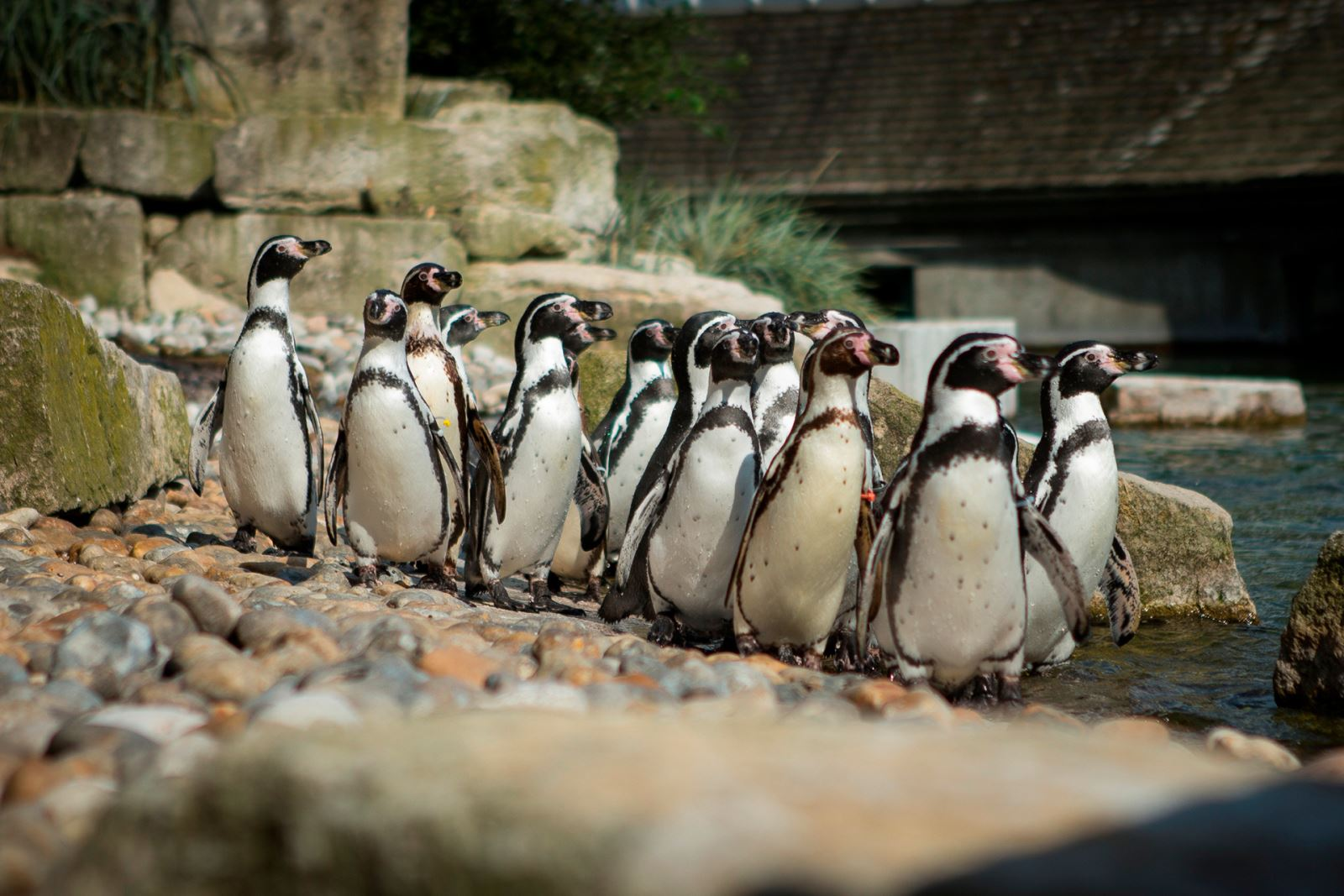 Marwell's Penguin Webcams