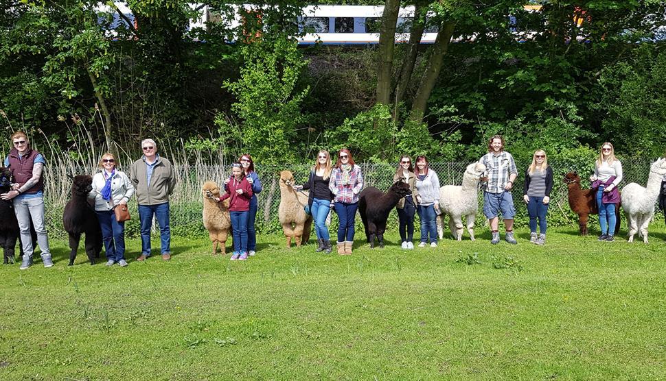 hensting alpacas things to do in hampshire hensting alpacas