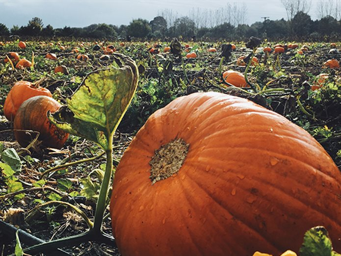 Pumpkin Picking in Hampshire