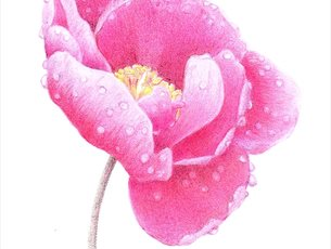 Art Workshop: Peony in Coloured Pencil at Sir Harold Hillier Gardens