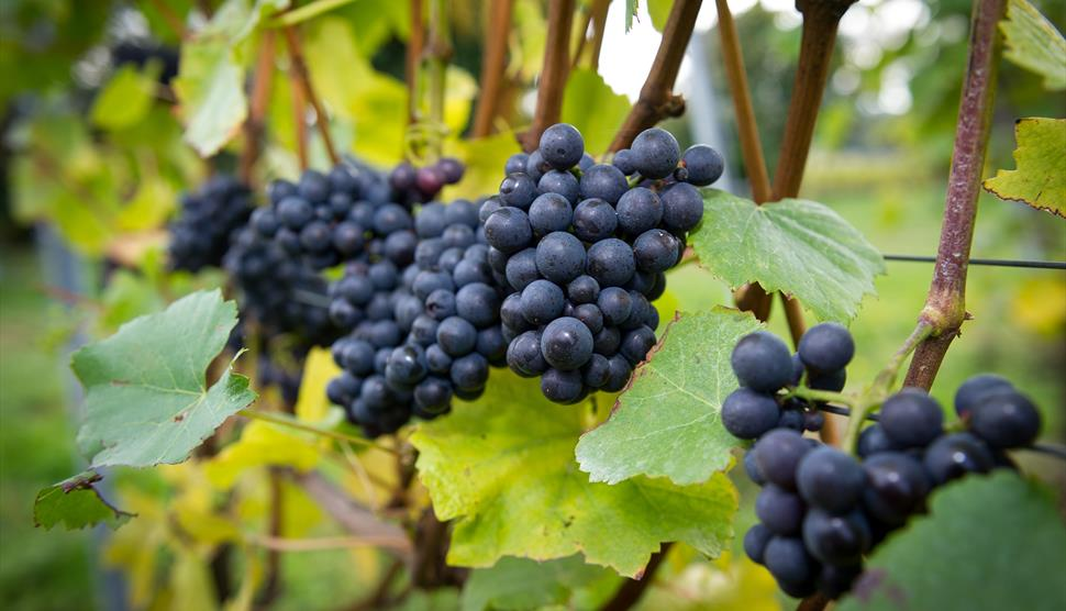 Grapes on the vines - Vineyards of Hampshire Fairy Lights and Fizz