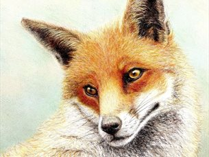 Fox in Coloured Pencil at Sir Harold Hillier Gardens